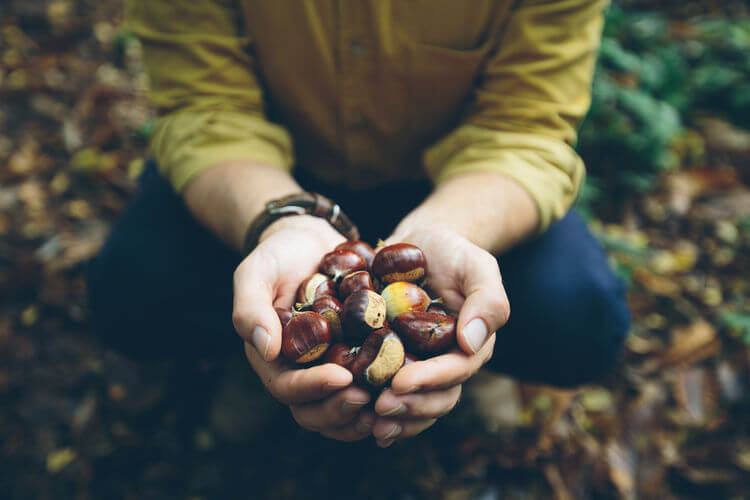 Man foraging for chestnuts in the forest